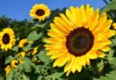 Characteristics of Sunflowers Floraqueens